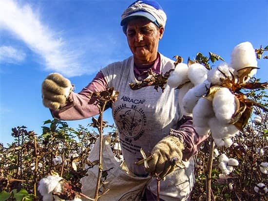 Hand picked cotton